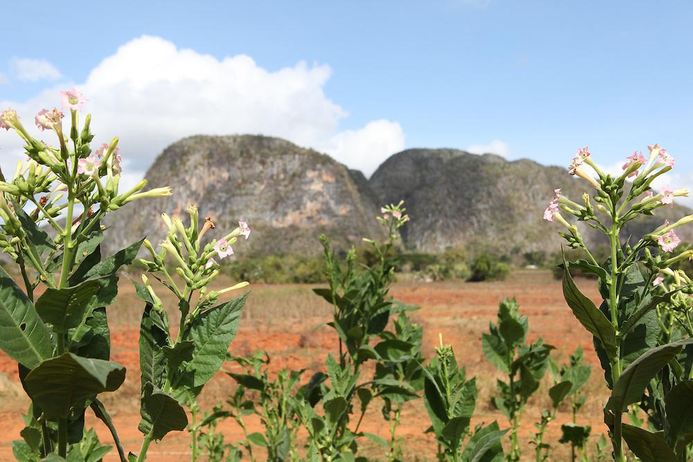 Vinales, Tobacco plantations