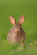 European Rabbit (Oryctolagus cuniculus) young, at rest in barley field, Norfolk, UK.