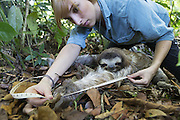 Brown-throated Three-toed Sloth <br /> Bradypus variegatus<br /> Rebecca Cliff, sloth biologist, measuring the arm of adult male sloth<br /> Aviarios Sloth Sanctuary, Costa Rica<br /> *Model release available