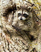 Baby raccoon crawling out of a tree hole.<br />