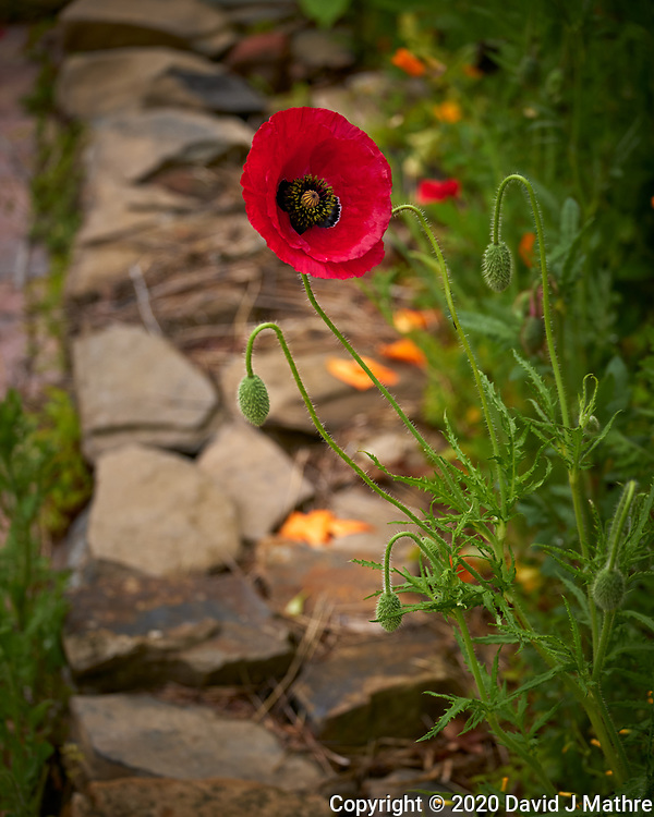 Red Poppy. Image taken with a Leica TL-2 camera and 55-135 mm lens.