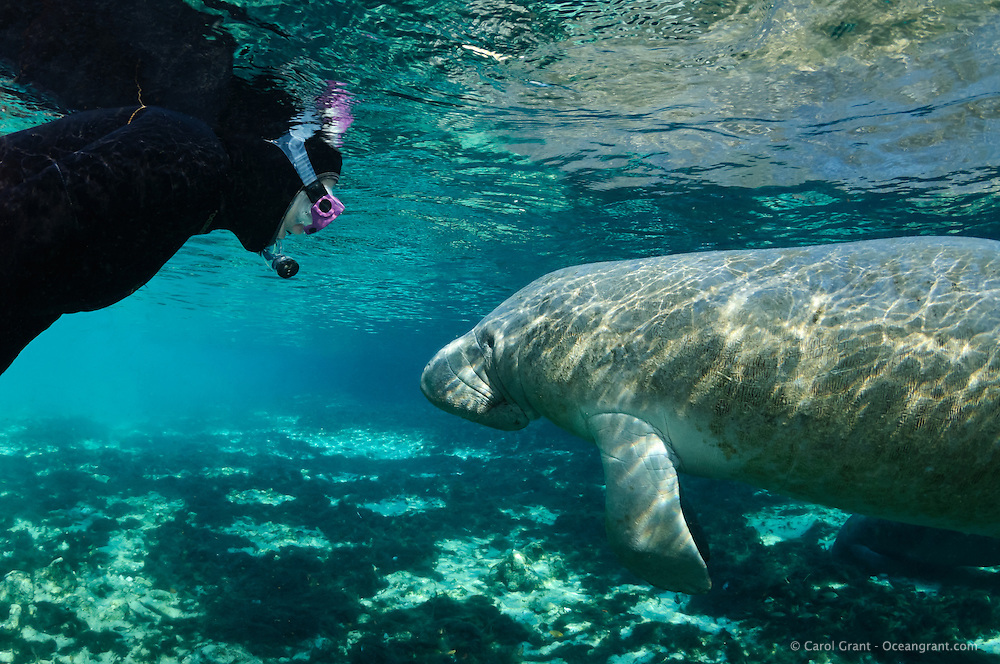 Florida manatee, Trichechus manatus latirostris, a subspecies of the West Indian manatee, endangered. Series of polite passive interaction, observation of a manatee. A female snorkeler wearing a pink mask observes and adult manatee on a bright day in the springs. Horizontal orientation with blue water mixing with green, rainbow sun rays and reflections. Three Sisters Springs, Crystal River National Wildlife Refuge, Kings Bay, Crystal River, Citrus County, Florida USA.