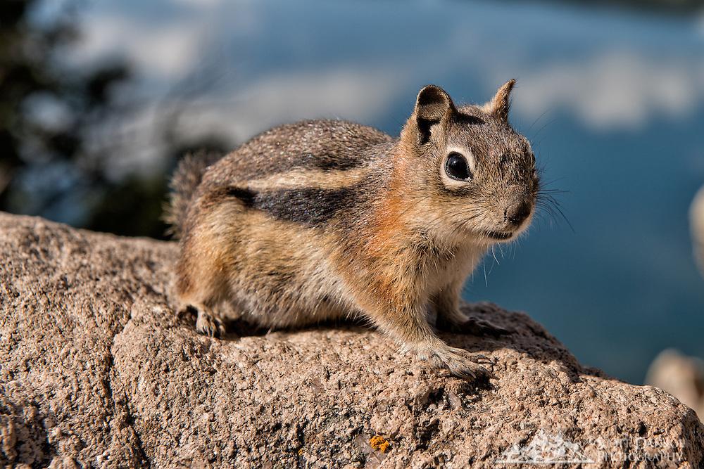Ground squirrel on the Sapphire Trail above Lake Dillon, Colorado.