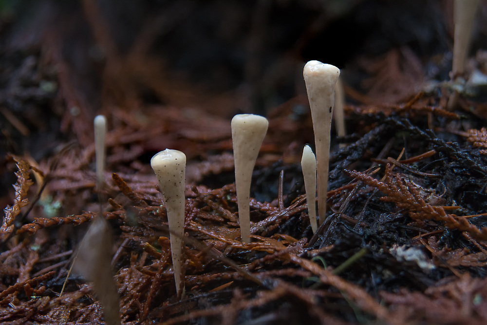 Found throughout the mountainous forests of Asia, North America and Europe, these unusual mushrooms look a lot like human teeth growing out of the rich humus of the forest floor. These particular mushrooms were found growing under a massive western red cedar next to the Greenwater River in Washington's Cascade Mountains.