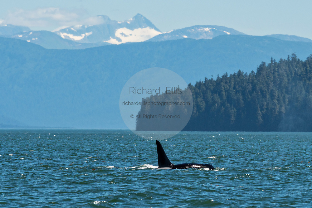 A pod of wild transient Orcas feed in the Frederick Sound near Petersburg Island, Alaska. Orcas also known as Killer Whales are the largest members of the dolphin family and frequent the rich waters of the Frederick Sound during summer months.