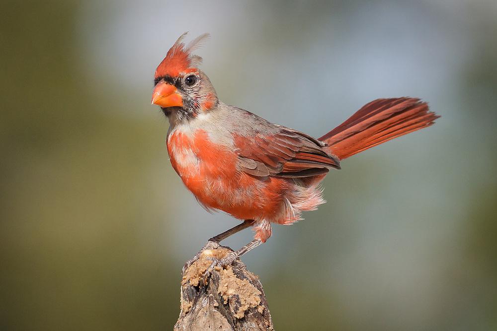 Cardinalis cardinalis, juvenile