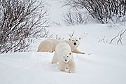 Polar bear sow and cub Ursus maritimus on frozen tundra<br />