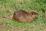 coypu, or nutria (Myocastor coypus) on land. Photographed in Israel, Hula Valley in March