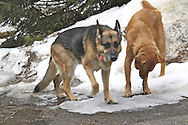 Dogs playing in snow, German shepherd and golden retriever