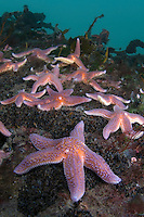 Common starfish, Asterias rubens.Atlantic marine life, Saltstraumen, Bodö, Norway