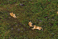 Aerial view of three lionesses, Masai Mara National Reserve, Kenya