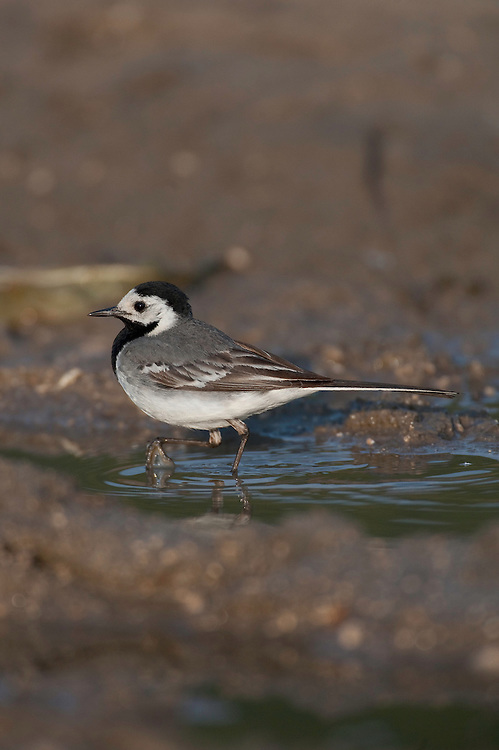 Pied Wagtail (Motacilla alba) in Codrii forest Reserve, central Moldova