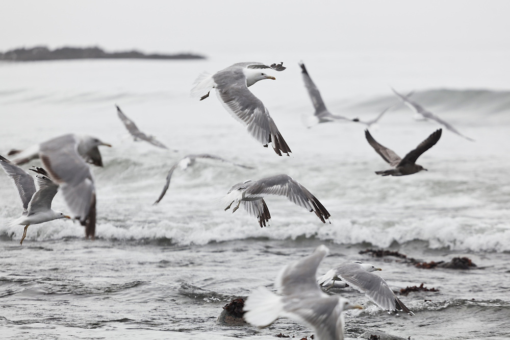 Seagulls fly low over the water along the West Coast Trail, British Columbia, Canada.