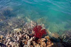 A gorgonian fan coral on the edge of a sandy reef on Augustus Island at the northern end of Camden Sound.
