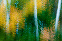 Paper birch trees in fall, Twin Mountain, New Hampshire.