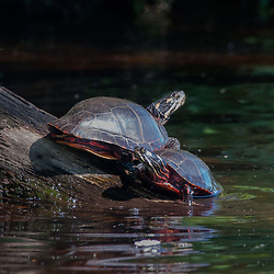Painted Turtles (Chrysemys picta), Hamilton Reservoir, Holland, Massachusetts, US