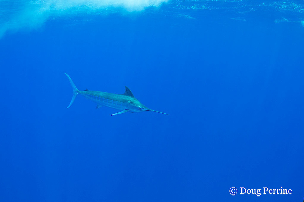 free-swimming blue marlin, Makaira nigricans, Vava'u, Kingdom of Tonga, South Pacific