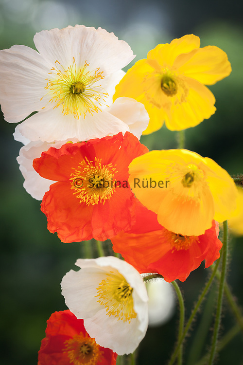 Papaver nudicaule 'Wind Song' - Iceland poppy