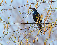 Common Grackle (Quiscalus quiscula) perched in a tree, Annapolis Royal Marsh, French Basin trail, Annapolis Royal, Nova Scotia, Canada