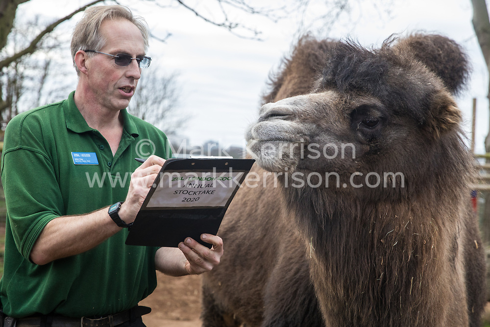 London, UK. 2 January, 2020. Zookeeper Mick Tiley counts Bactrian camels during the annual stocktake at ZSL London Zoo. Every mammal, bird, reptile, fish and invertebrate is counted - a total of more than 500 different species - as part of an almost week-long audit required by the Zoo's licence, with the information recorded then shared with other zoos via the Species360 database.