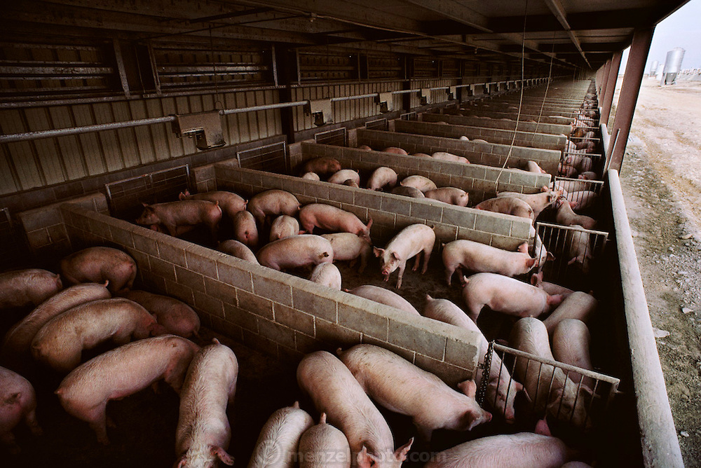 Pigs/Swine/Hog: Confined hogs in concrete feeding pens at Swine Producers Unlimited. Los Banos, California. USA.
