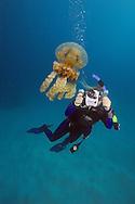 Stinging jellyfish, Mastigias papua and diver (MR).  Palau, Micronesia.