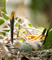 A snowy egret (Egretta thula)  examines the shell of a hatched egg in its nest. The nest is located in the Gatorland alligator breeding marsh and bird sanctuary near Orlando, Florida. The bird sanctuary is the largest and most easily accessible wild wading bird rookery in east central Florida.