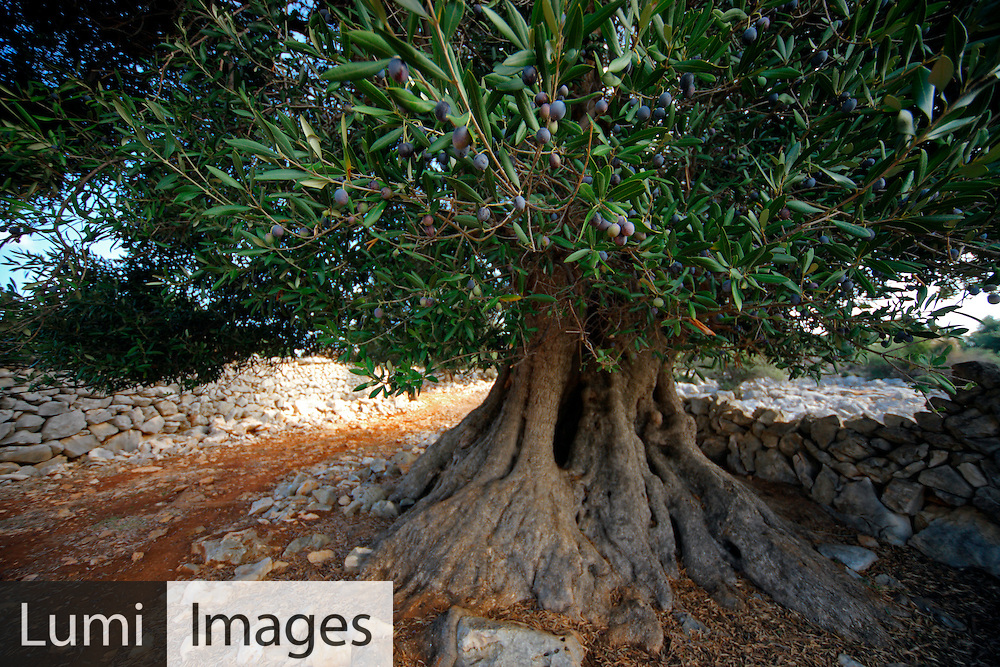 Olive Tree, Ancient, Growth, Majestic, Scenics,