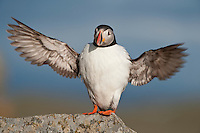 Atlantic Puffin stretched wingspan Runde island Norway