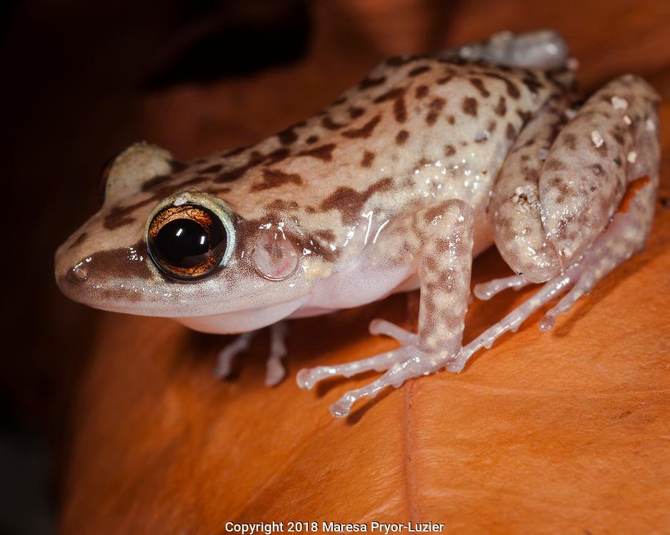Endangered Mona Island Coqui, Electherodactylus monensis, Endemic to Mona Island, Puerto Rico
