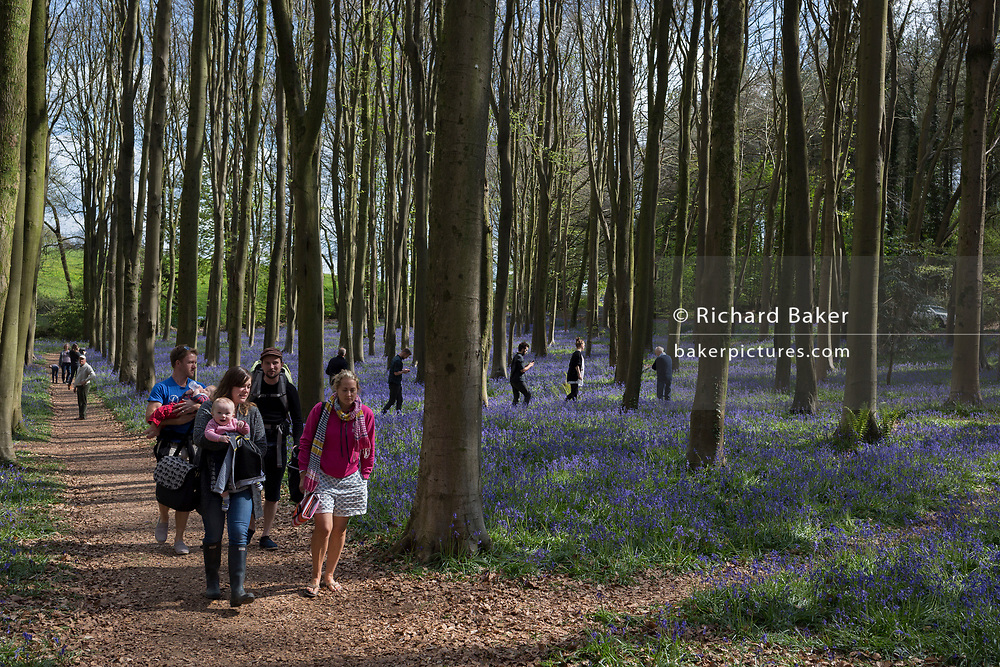 Families walk through Bluebell woods, on 23rd April 2017, in Wrington, North Somerset, England.