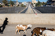 Goats crossing on a bridge over the construction of the transit train line in Addis Ababa, Ethiopia