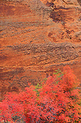 Red bigtooth maple and sandstone cliff in Petroglyph Canyon, Zion National Park, Utah