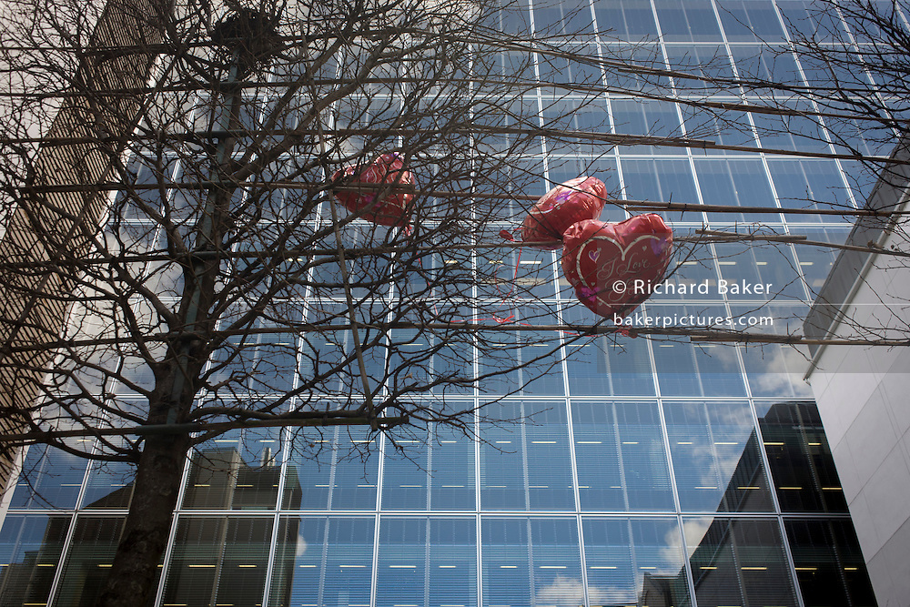 Deflated valentines balloons blow in the wind, snagged in branches of an urban tree beneath a City of London office block. .