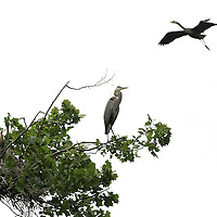 A great blue heron kept a lookout from the top of a sycamore tree at its nesting site, also known as a rookery, along the Kentucky river palisades near Shaker Village at Pleasant Hill, Ky., on Friday, May 13, 2011. Shaker Village is offering two wildlife cruises to the blue heron rookery aboard their Dixie Belle paddleboat this spring.