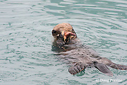 sea otter, Enhydra lutris (Endangered Species ), eating starfish ( sea star ), Valdez, Alaska ( Prince William Sound )