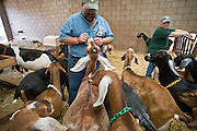 July 26, 2008 -- SNOWFLAKE, AZ: DAVID HEININGER and his wife KATHRYN HEININGER look after their goats in the barn on the Black Mesa Ranch, a 280 acre spread in the high desert near Snowflake, AZ. The ranch owners, David and Kathryn Heininger, run a herd of about 40 Nubian dairy goats and hand make artisan cheese from the goat's milk. It's a second gear for them, they retired from Tucson, AZ, where they bought and renovated  historic homes. The moved to the ranch in 2001 and started making and selling cheese shortly after the move. Their cheese is used in expensive restaurants in Phoenix and sold at natural food stores in Arizona. PHOTO BY JACK KURTZ