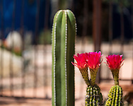 A wider view of the torch cacti (and a Mexican fence post cactus).