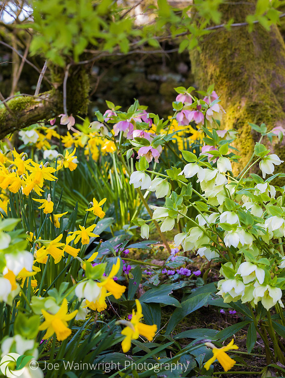 Cyclamen and daffodils arch over a clump of cyclamen in the gardens at Sizergh Castle, Cumbria - photographed in March