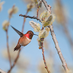 Rufous Hummingbird feeding on blooming willow buds in Prince William Sound, AK