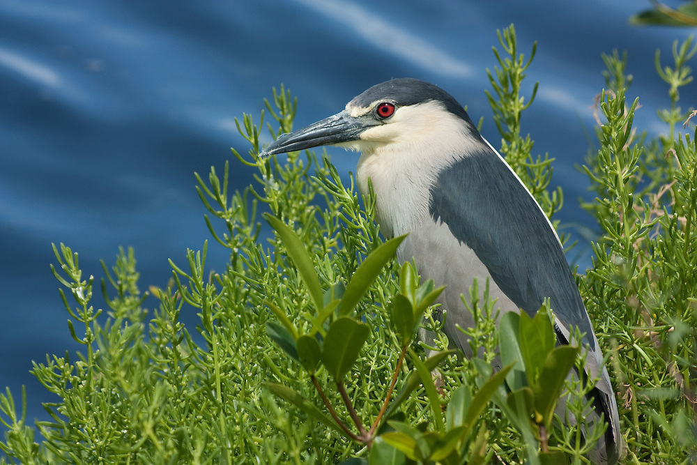 Black-crowned night-heron by marsh in Hawaii