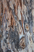 The trunk of a Marina Madrone (Arbutus 'Marina') shows abstract patterns as its bark peels in San Jose, California.