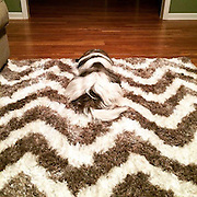 'Did you buy the rug to match the dog?' Camouflaged canine whose fur blends seamlessly with the chevrons of a carpet leaves the internet baffled<br /> <br /> One dog owner appeared to take their love of coordinated home furnishings to a new level when they shared a photograph of their rug.<br /> Atop the fluffy carpet is a Tibetan Terrier whose fur blends seamlessly with the brown and cream chevron design .<br /> ©Exclusivepix Media