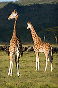 Giraffes, Lake Nakuru National Park, Kenya.