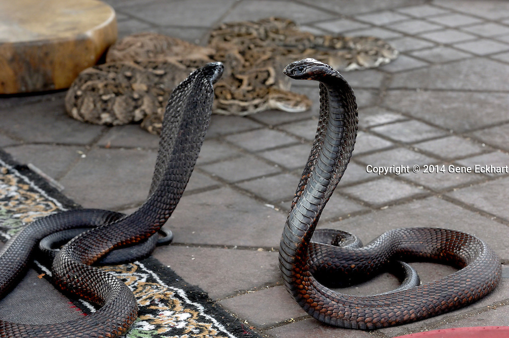 These snakes belong to a snake charmer in the Jamaa el Fna square on the edge of the medina (old city) in Marrakech, Morroco.  The snakes are Egyptian cobras (Naja haje) and Puff adders (Bitis arietans), both highly venomous. The act of snake charming has been around for a long time.  The skills are handed down through families and they have been making a living doing this for generations. This is a unique cultural phenomenon that can only be seen in a few places in the world and Marrakech is one of them.