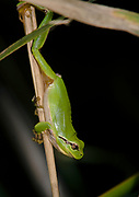 Mediterranean Tree Frog (Hyla meridionalis) from Camargue, Provence, southern France.