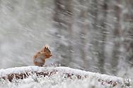 Red squirrel (Sciurus vulgaris) in pine forest, Glenfeshie, Scotland.