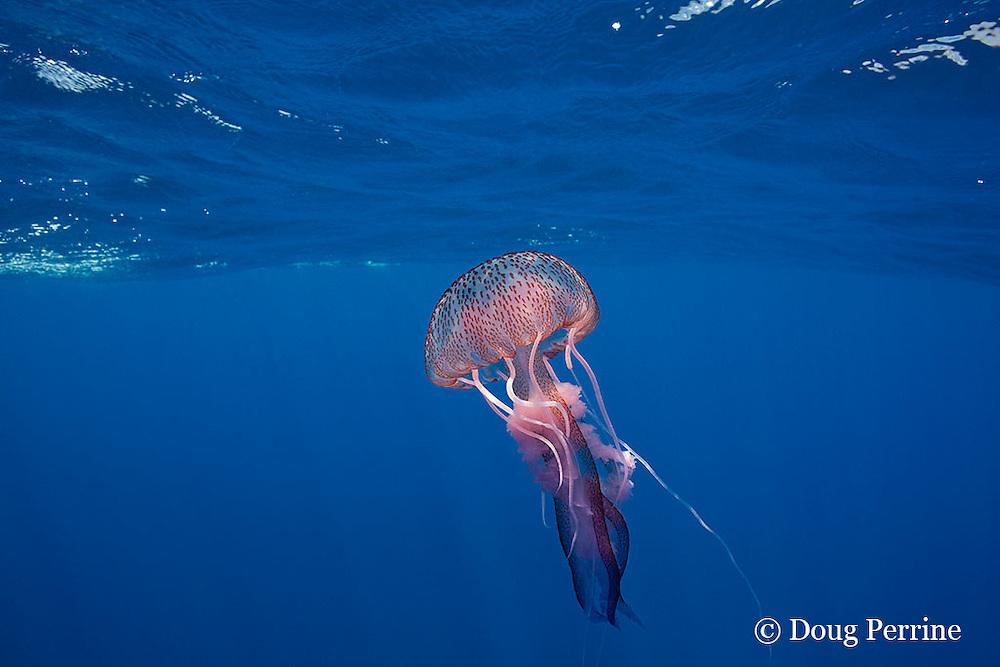 mauve stinger jellyfish or sea jelly, Pelagia noctiluca, Ligurian Sea, Mediterranean Sea, Italy
