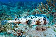 Spot fin porcupinefish-Diodon commun (Diodon hystrix), Playa del carmen, Yucatan peninsula, Mexico..