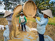 20 JULY 2016 - TAMPAKSIRING, GIANYAR, BALI: Women work during the rice harvest in Bali. Rice is an important part of the Balinese culture. The rituals of the cycle of planting, maintaining, irrigating, and harvesting rice enrich the cultural life of Bali beyond a single staple can ever hope to do. Despite the importance of rice, Bali does not produce enough rice for its own needs and imports rice from nearby countries. Because of its dependable growing weather and number of micro-climates, rice cultivation is a year round activity in Bali. Some farmers can be harvesting rice, while farmers just a few kilometers away can be planting rice. Most rice in Bali is still harvested by hand.       PHOTO BY JACK KURTZ